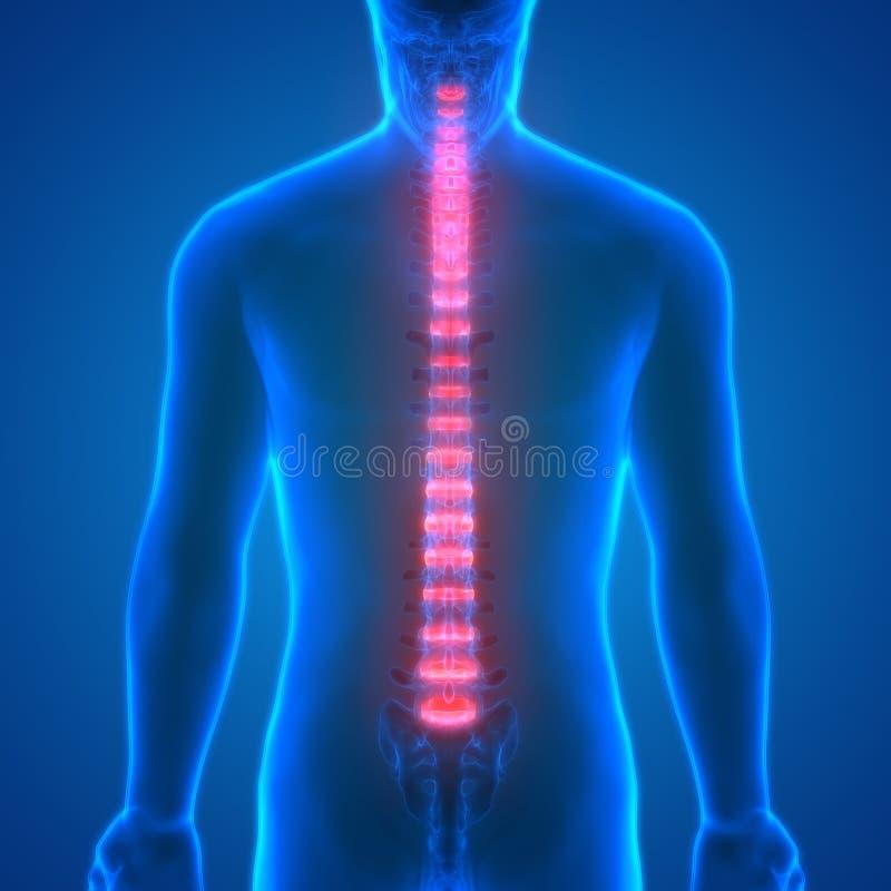 Backbone intervertebral disc anatomy Posterior view. 3D Illustration of Backbone intervertebral disc anatomy Posterior view vector illustration