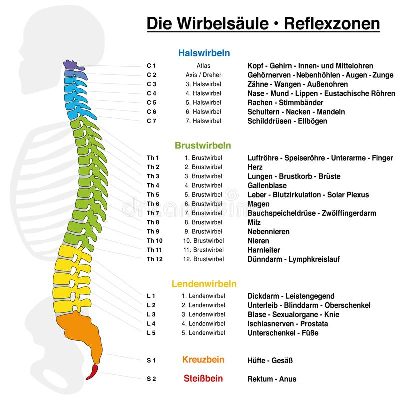 Backbone Reflexology Chart German Names. Backbone reflexology chart with accurate description of the corresponding internal organs and body parts, and with names stock illustration