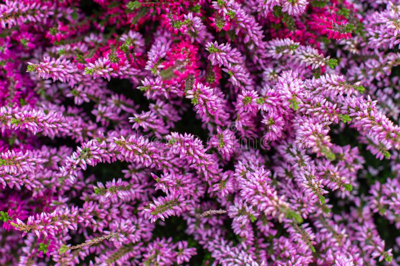 Backdrop floral background, pink heather calluna top view. Beautiful autumn flower, bouquet from magenta heather blossom royalty free stock photography