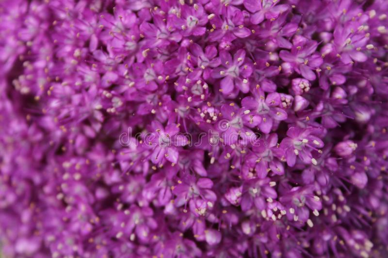 Backdrop of flowers. Not all flowers open at once, but gradually, until oformiraju blooming purple`globe stock photo