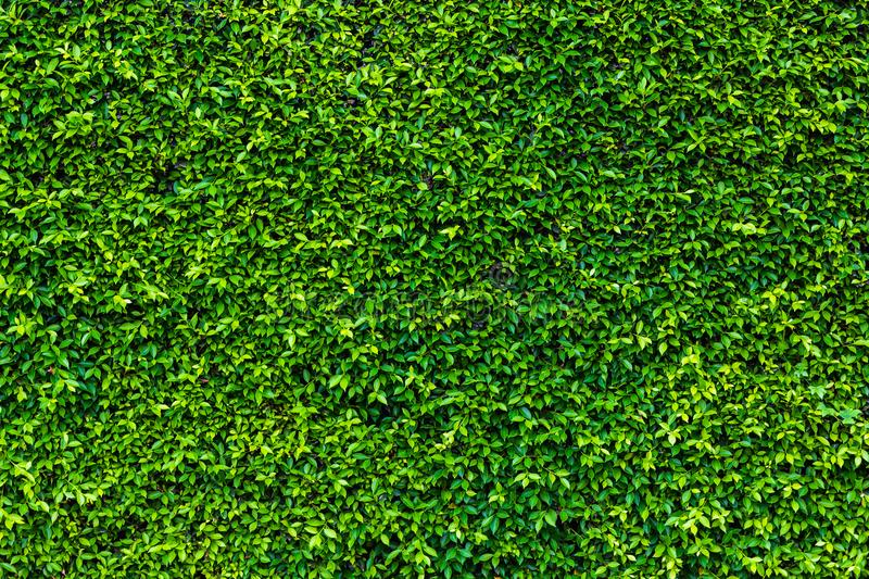 Backdrop of green leaves natural wall. royalty free stock photos