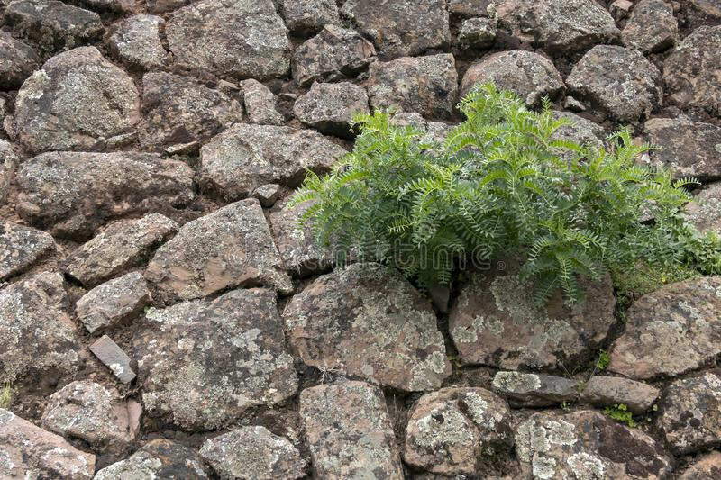 Backdrop of green plant life growth in stone. Natural background with copy space royalty free stock images