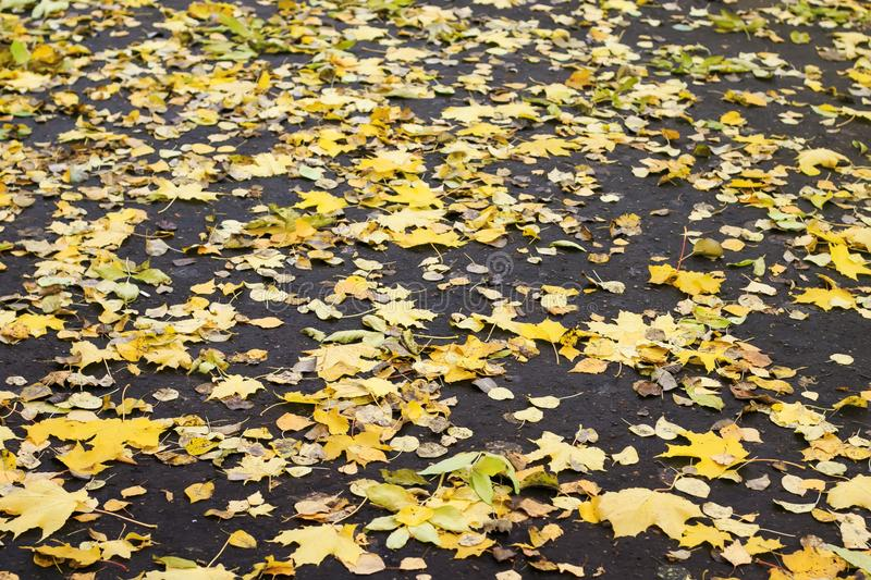 Backdrop of piles of old withered maple leaves fell in the fall royalty free stock image