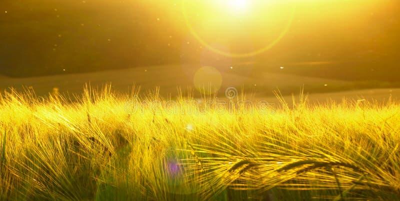 Backdrop of ripening barley of yellow wheat field on the sunset cloudy yellow sky ultrawide background. Sunrise. Effect of sunshin. E royalty free stock photo