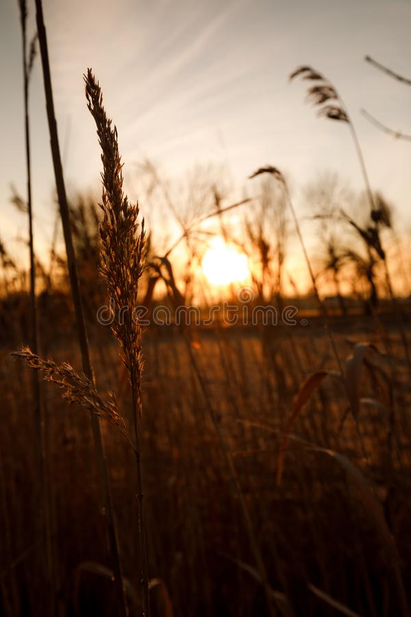 backdrop of ripening ears of yellow wheat field on the sunset cloudy orange sky background royalty free stock photo