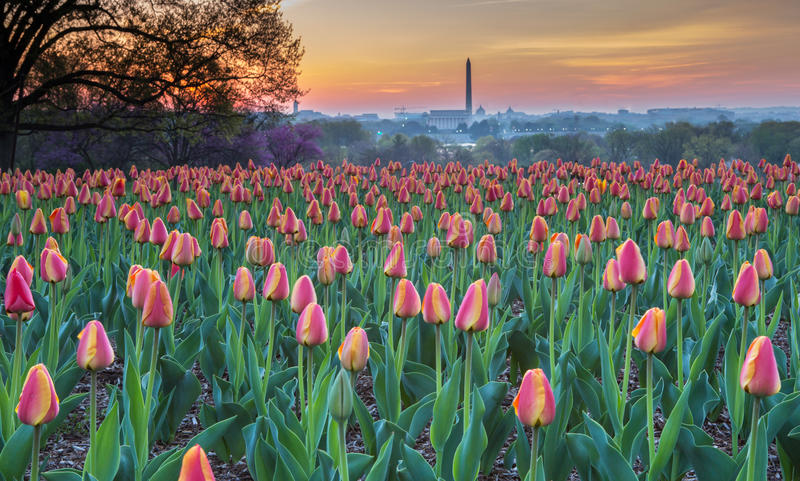 Backe Tulip Garden Arlington Virginia royaltyfri fotografi