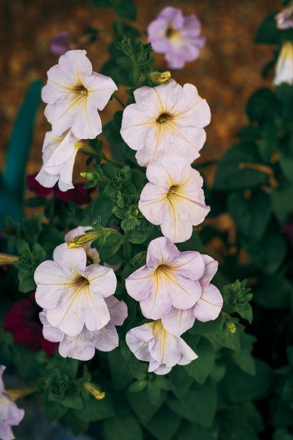 backfround kwitnie do domu odosobnionego nadmiernego biel petunia Naturalny o?wietlenie tonowanie Zako?czenie obraz royalty free