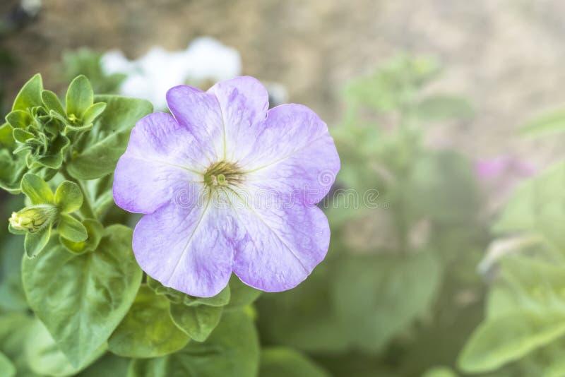 backfround kwitnie do domu odosobnionego nadmiernego biel petunia Naturalny o?wietlenie tonowanie Zako?czenie obrazy stock