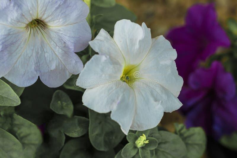 backfround kwitnie do domu odosobnionego nadmiernego biel petunia Naturalny o?wietlenie tonowanie Zako?czenie zdjęcia stock