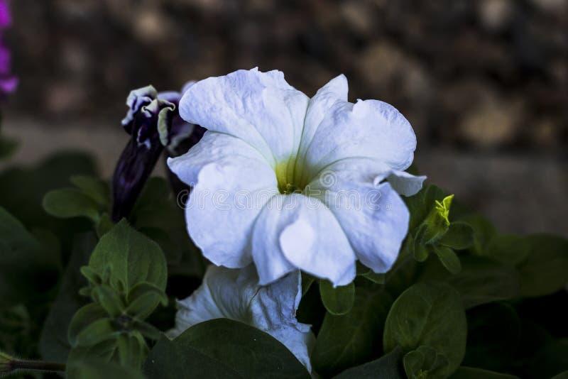 backfround kwitnie do domu odosobnionego nadmiernego biel petunia Naturalny o?wietlenie tonowanie Zako?czenie fotografia royalty free