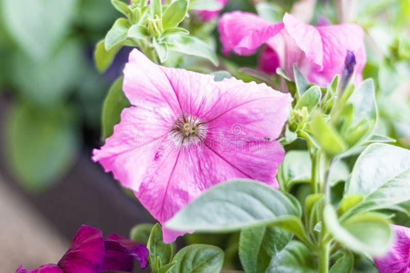 backfround kwitnie do domu odosobnionego nadmiernego biel petunia Naturalny o?wietlenie tonowanie Zako?czenie fotografia stock