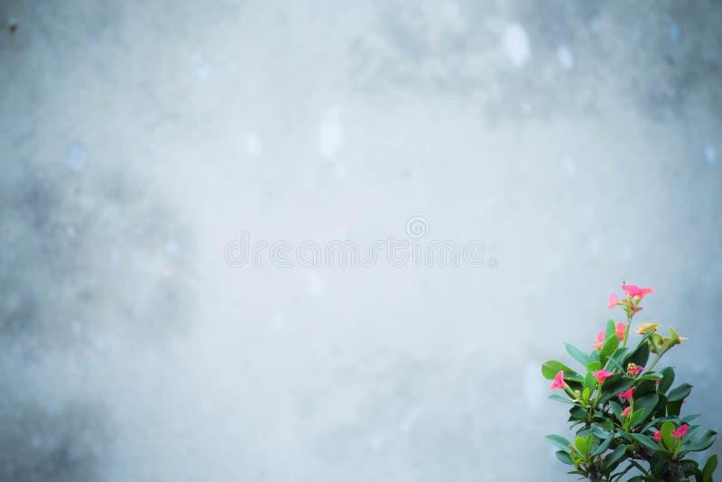 Backgeound velho branco da textura da parede com a flor do milii do eufórbio imagens de stock