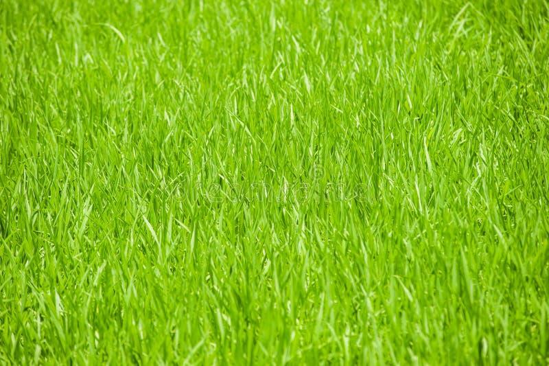 Backgorund frais parfait d'herbe verte photographie stock libre de droits