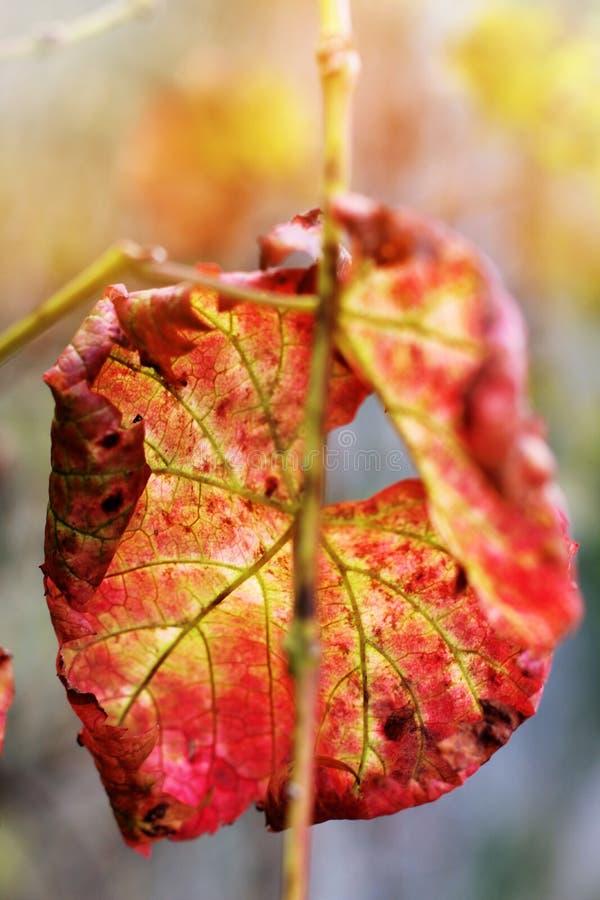 Backgro vermelho de france das árvores da folhagem de outono do outono da licença da queda foto de stock
