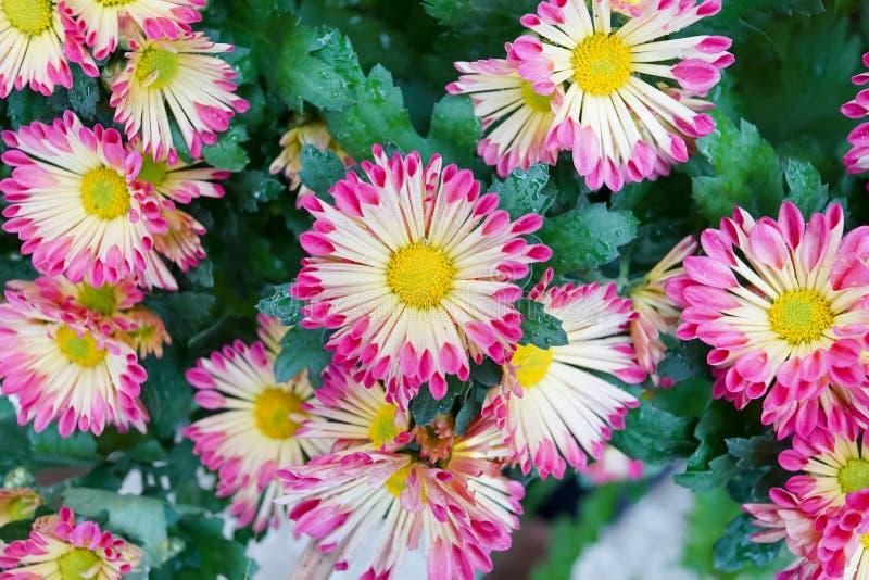 Backgrou de centro del crisantemo de la flor del rosa del amarillo del foco selectivo imagen de archivo libre de regalías