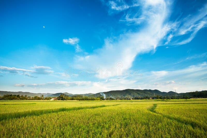 Backgrou nublado del paisaje de la nube del cielo azul de la hierba del amarillo del campo del arroz fotografía de archivo libre de regalías