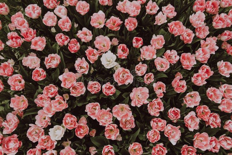 Backgroud фильтровало изображение представляя изумляя цветок тюльпана Пинга принятый сверху стоковая фотография rf