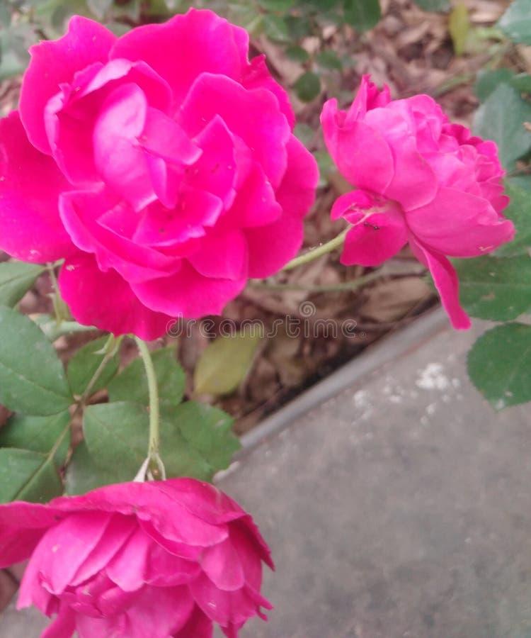 Backgroun di vettore del fiore di Rosa e della natura dell'albero fotografie stock libere da diritti