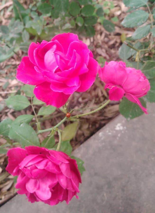 Backgroun di vettore del fiore di Rosa e della natura dell'albero immagini stock