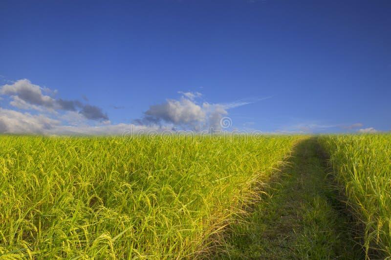 Backgroun för landskap för moln för blå himmel för grönt gräs för risfält molnig royaltyfria bilder