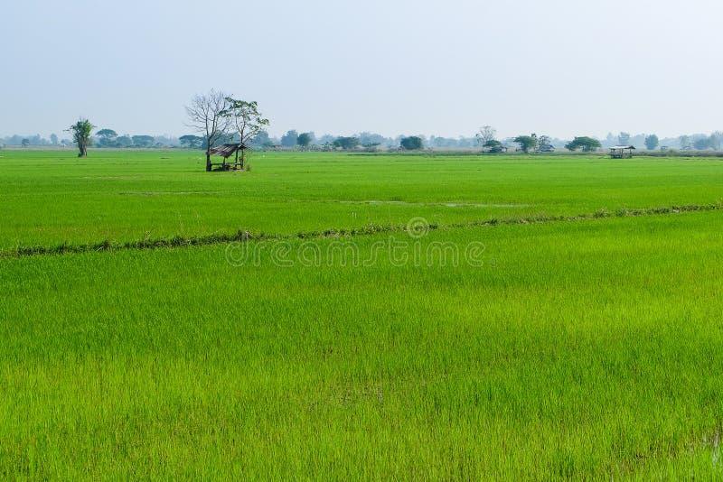 Backgroun nuvoloso del paesaggio della nuvola del cielo blu dell'erba verde del giacimento del riso fotografie stock libere da diritti