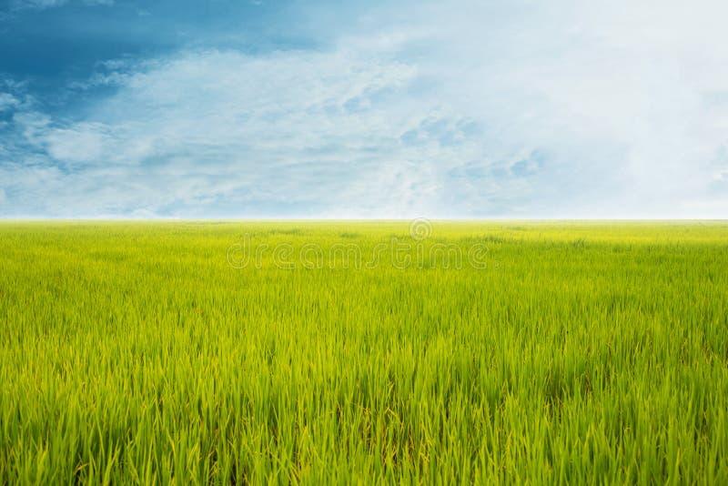 Backgroun nuvoloso del paesaggio della nuvola del cielo blu dell'erba verde del giacimento del riso fotografia stock libera da diritti