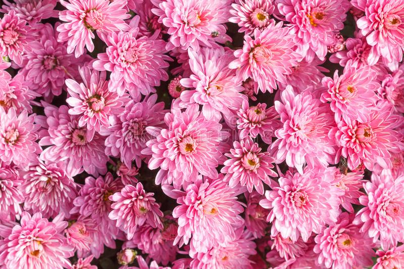 Background abstract chrysanthemum pink flowers spring. Pattern royalty free stock image
