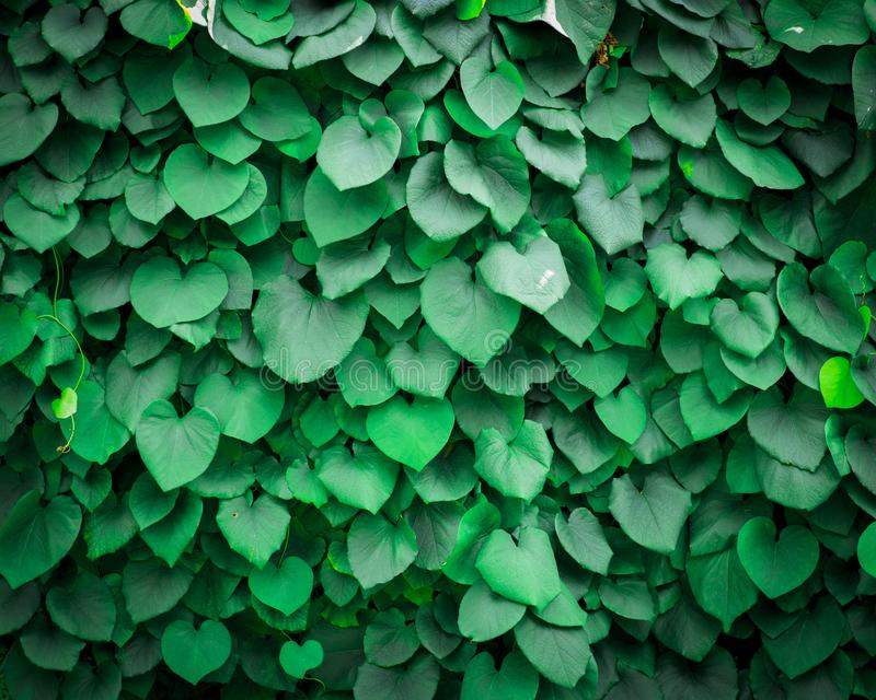 Background of Aristolochia Macrophylla leaves royalty free stock photography