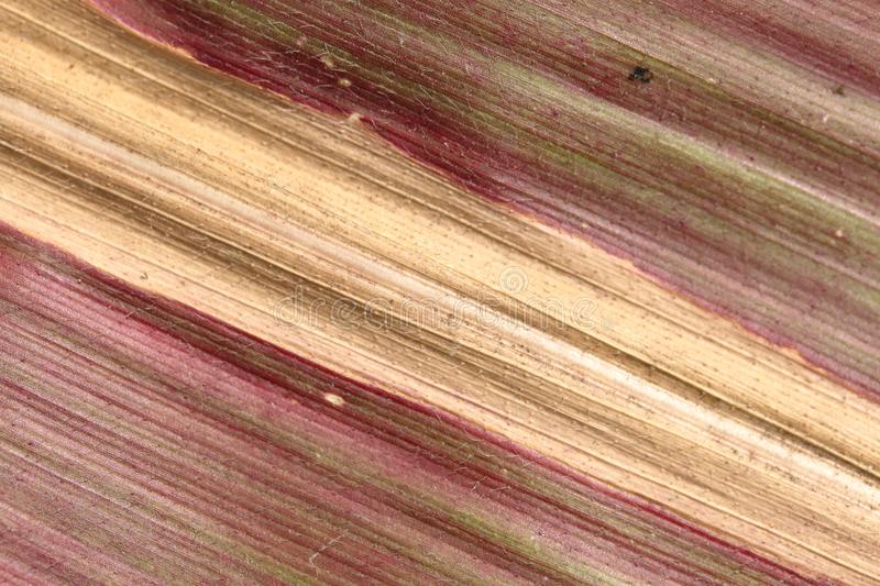 Background from an autumn leaf of corn. Veins of different shades are visible: red, yellow, green and others stock photos