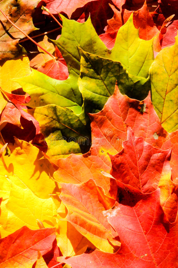 Background autumn maple leaves stock images