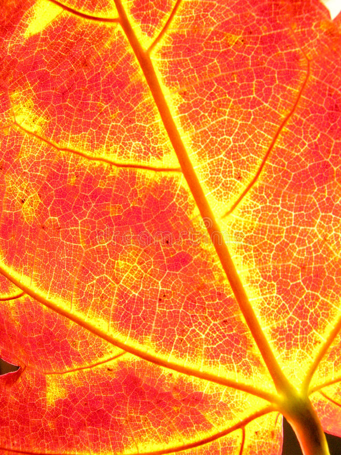 Background autumn maple leaves stock photography