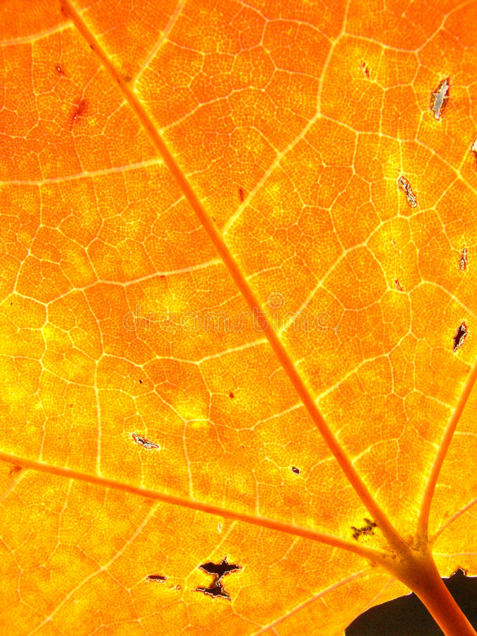 Background autumn maple leaves royalty free stock photography
