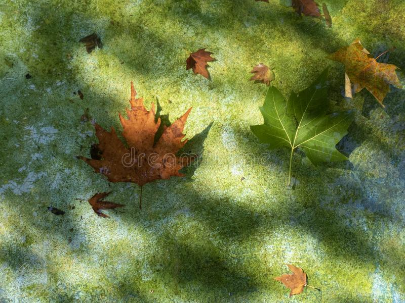 Background about autumn, two maple leaves in clear water and the glare of the sun royalty free stock photography