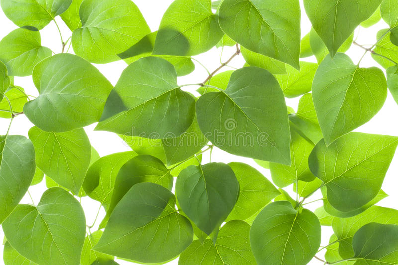 Background of backlit green leaves stock photo