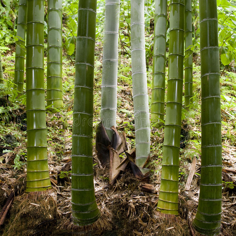 Download Background in bamboo stock photo. Image of area, beauty - 26888496