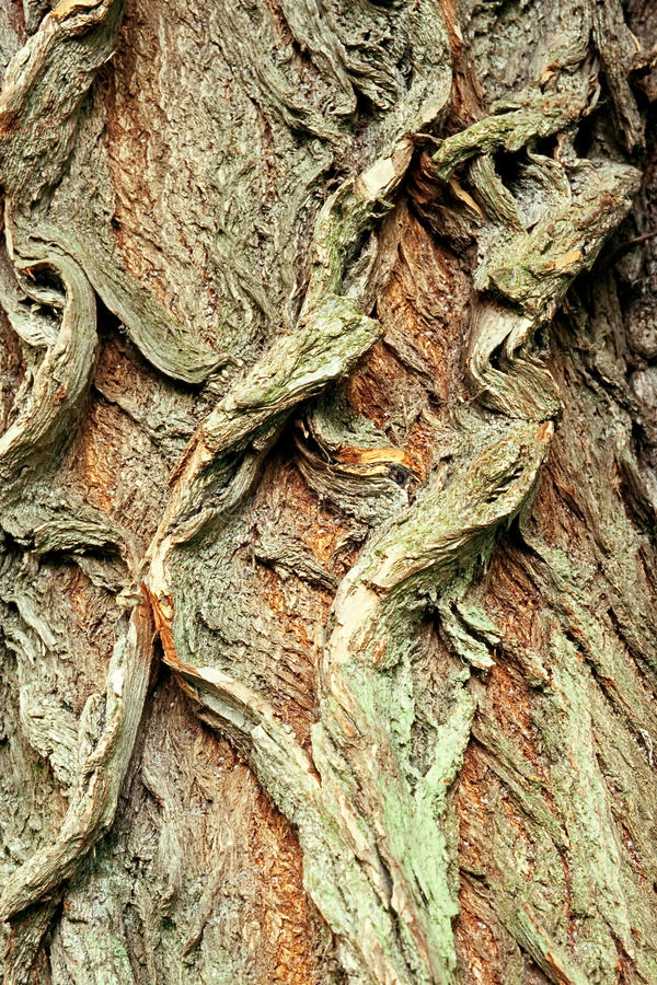 Background of bark of White Willow, Salix alba. Closeup royalty free stock image