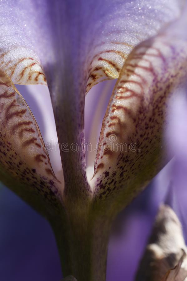 Background, beautiful, beauty, bloom, blossom, bright, color, flora, floral, flower, garden, iris, macro, nature, petal, plant, pu. I photograph the petal of the royalty free stock photography
