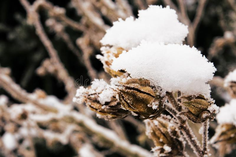 Dried up buds covered with snow stock photos