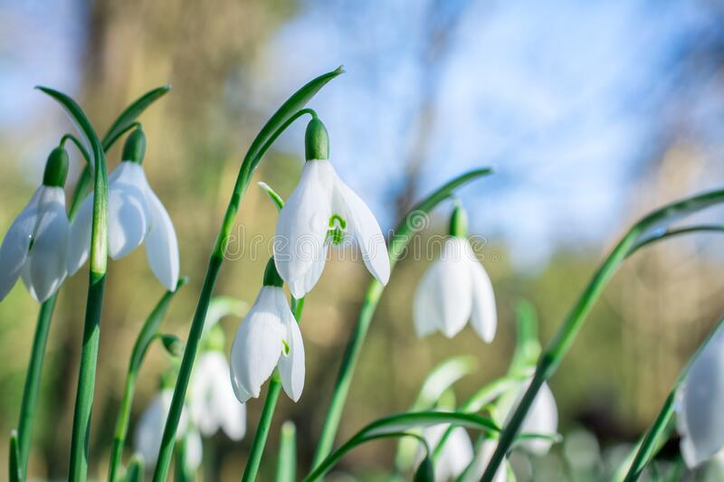 Snowdrop. Spring flowers( galanthus nivalis). Background, beautiful, clum, droped, field, first, florist, flower, forest, fresh, galanthus, garden royalty free stock photos