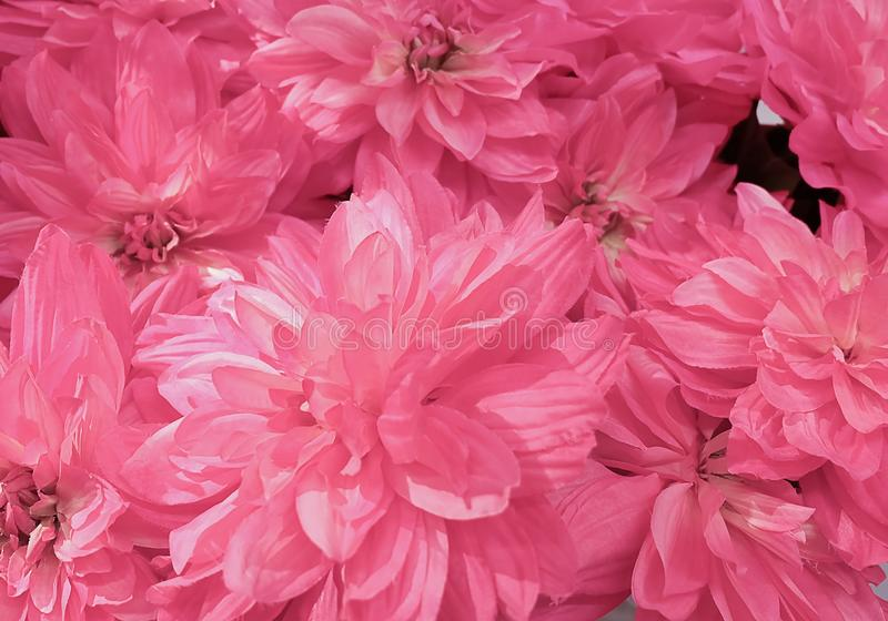 Background of Beautiful Pink Artificial Aster Flowers royalty free stock photo