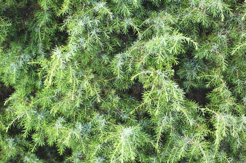 Background from beautiful thick green juniper branches. Conifers in alternative medicine, medicinal tree royalty free stock image