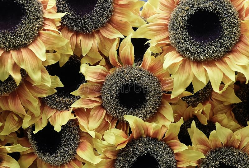 Background of Beautiful Yellow Artificial Sunflower Flowers stock photography