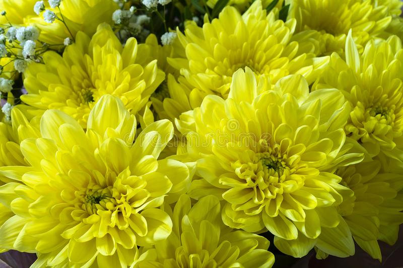 Background from beautiful yellow chrysanthemums royalty free stock images