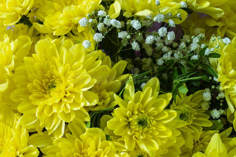 Background from beautiful yellow chrysanthemums stock image