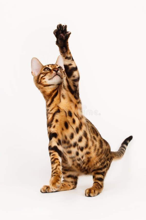 background bengal cat isolated playing white στοκ φωτογραφία με δικαίωμα ελεύθερης χρήσης