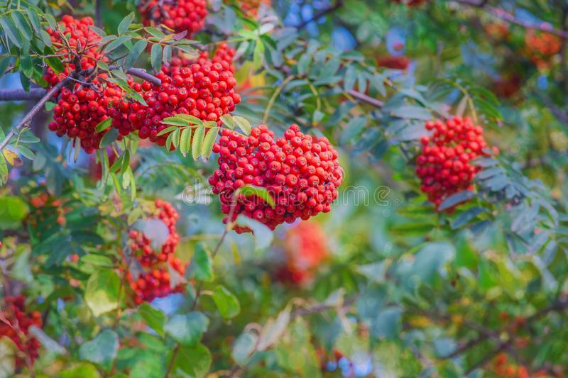 Background berry trees rowanberry stock images