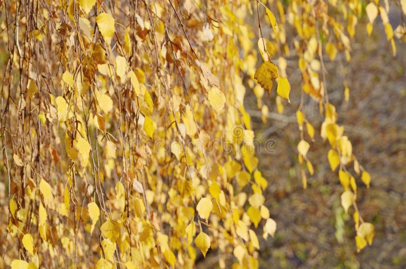 Background of birch branches with yellow leaves in autumn royalty free stock photos