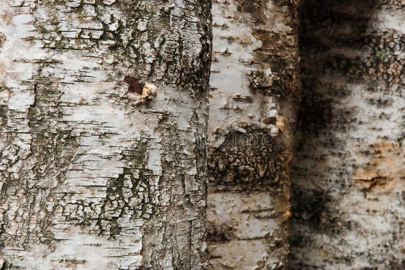 Background of birch logs, wood texture stock image