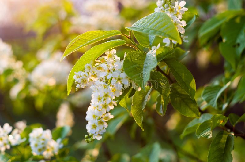 Background of blooming beautiful flowers of white bird cherry in raindrops on a sunny day in early spring close up, soft focus stock photo