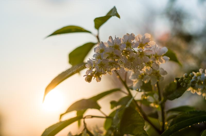 Background of blooming beautiful flowers of white bird cherry in raindrops on a sunny day in early spring close up, soft focus royalty free stock image